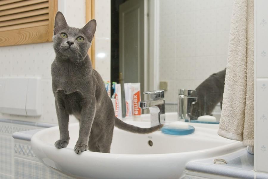 Zdrowie I Natura Hodowla Kotów Rasy Korat Morakotpl