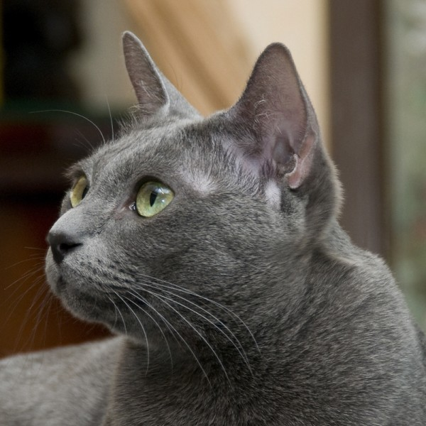 15f759a3fc the Korat or the Russian Blue