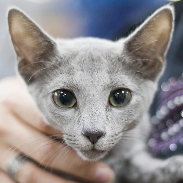 Korat A Kot Rosyjski Niebieski Hodowla Kotów Rasy Korat Morakotpl