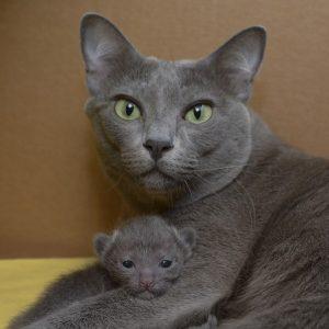 Hodowla Kotów Rasy Korat Morakotpl Morakotpl Domowa Hodowla