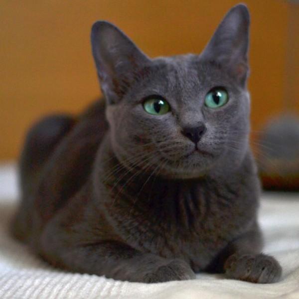 Nasze Koty Hodowla Kotów Rasy Korat Morakotpl