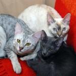 Galib, Trisha i Cashmere
